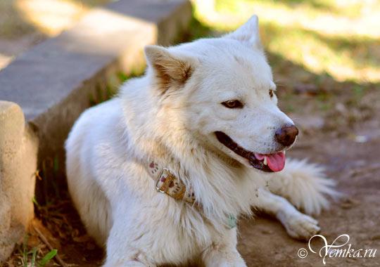 Собака из Чианг Мая