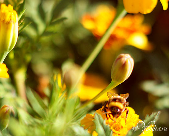 Снова пчелка на цветке