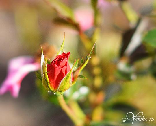 Все розы увяли, а эта только появляется