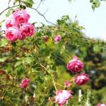 Розы, Петршины