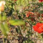 Розарий в Петршины