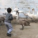 Вы можете покормить лебедей